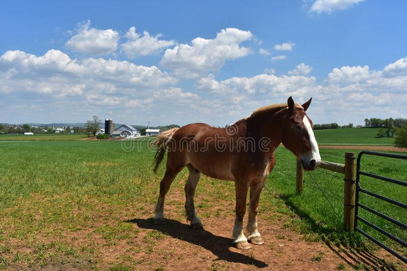 Chestnut Draft Horse Standing in a Large Field royalty free stock photo