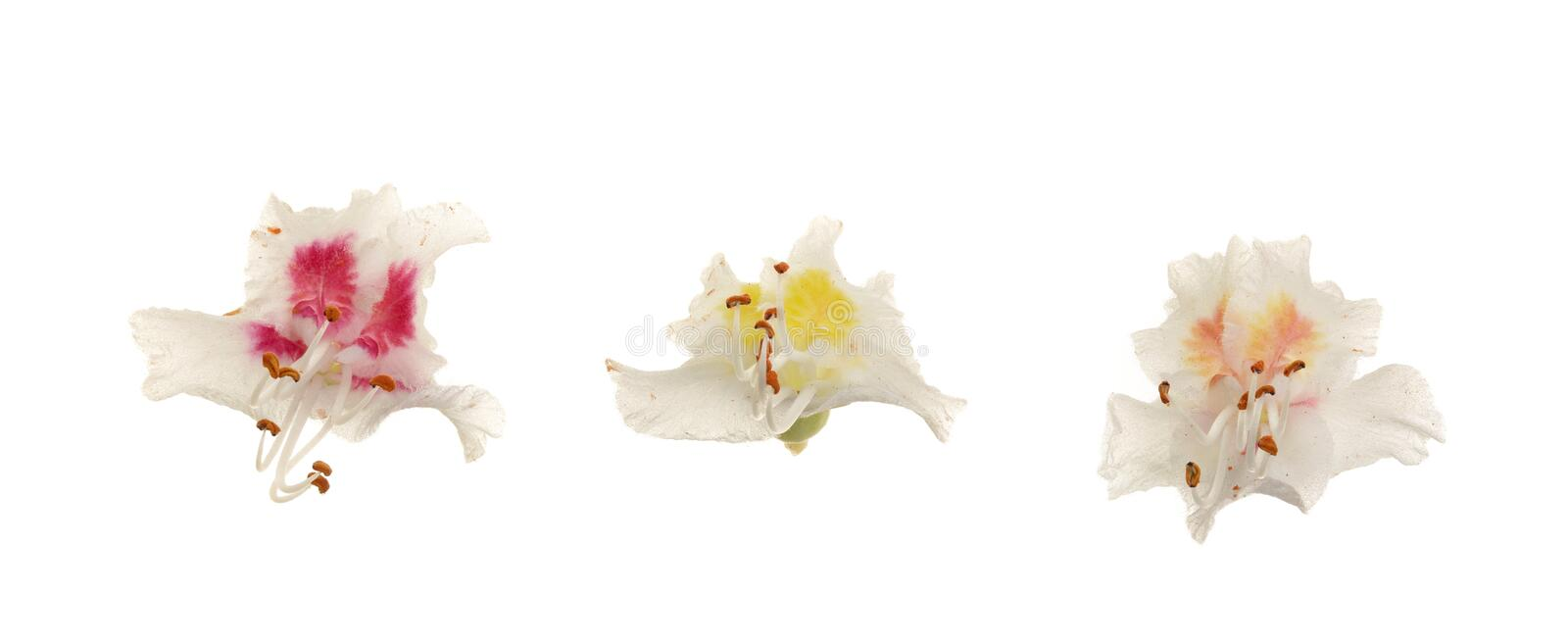 Chestnut flower or Aesculus hippocastanum, Conker tree with leaves isolated on white background.  stock photo