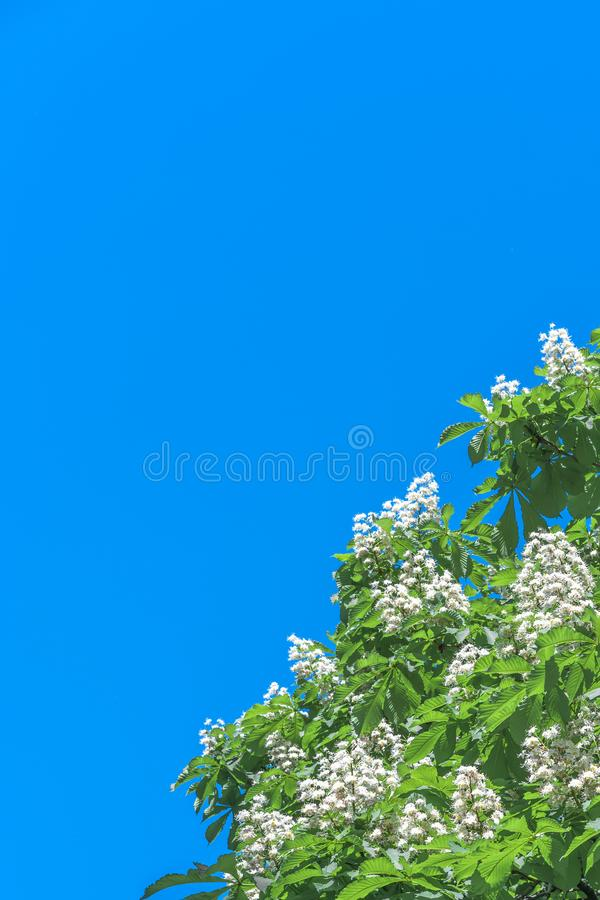 Chestnut flowers on a bright sunny day against the blue sky royalty free stock photography