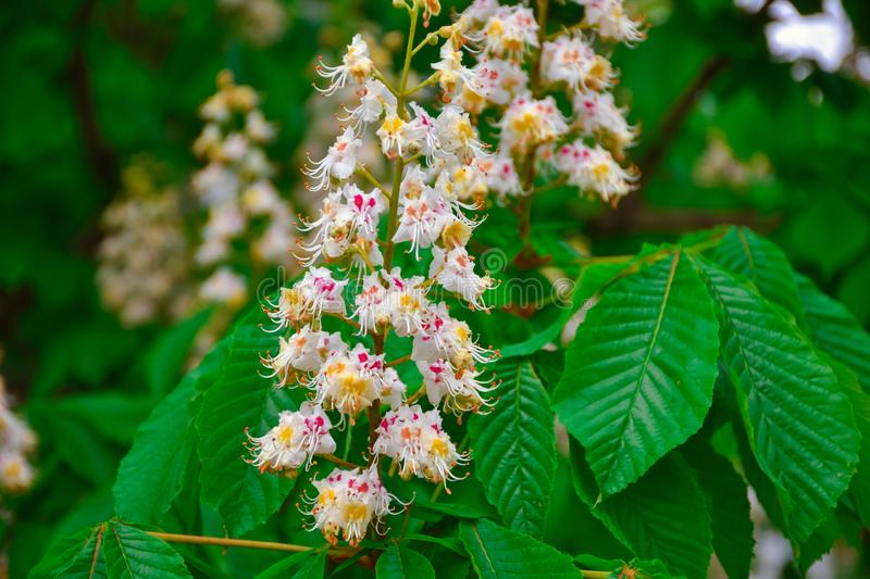 Chestnut flowers close up, blooming chestnut stock image