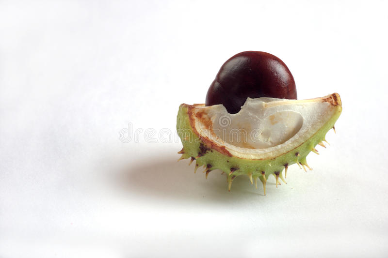 Chestnut. Fresh brown chestnut in the shell royalty free stock image