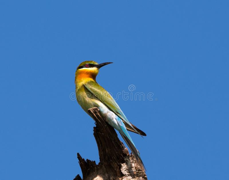 Chestnut headed bee eater royalty free stock image