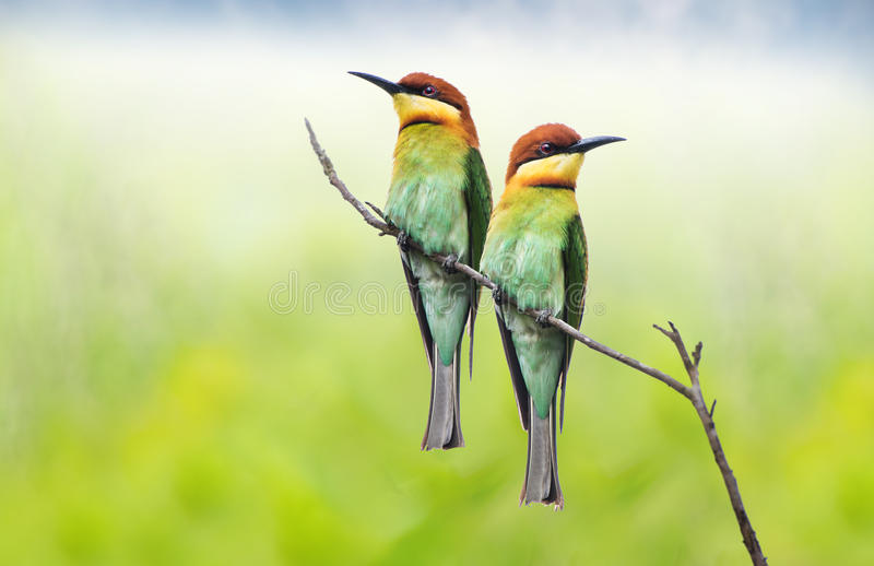 Chestnut headed bee eater pair royalty free stock photos