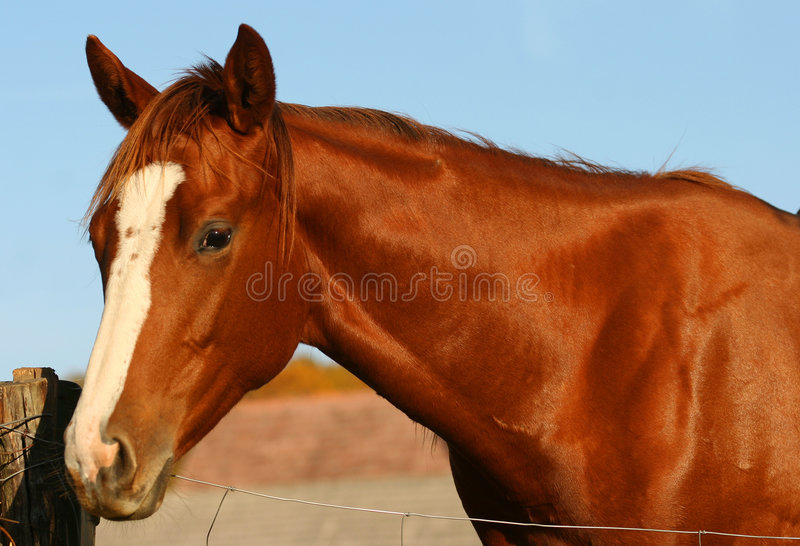 Chestnut Horse royalty free stock images