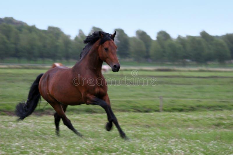 chestnut horse 免版税库存照片