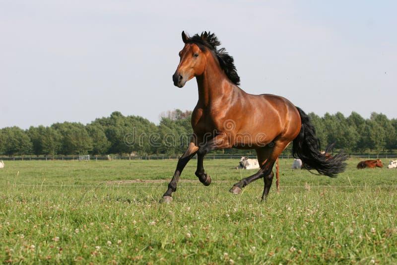 chestnut horse 库存照片