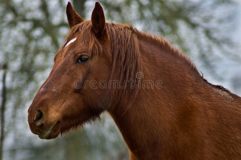 Chestnut horse close up in profile stock photography