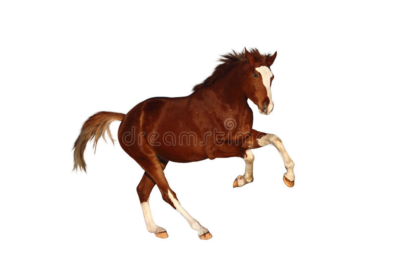 Chestnut horse galloping free isolated on white stock images