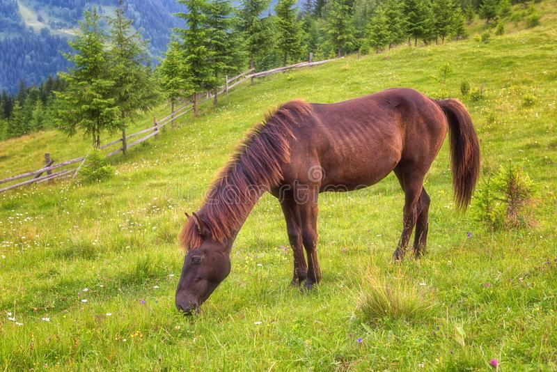 Chestnut horse grazing in the summer alpine meadow, natural outdoor animal background royalty free stock images