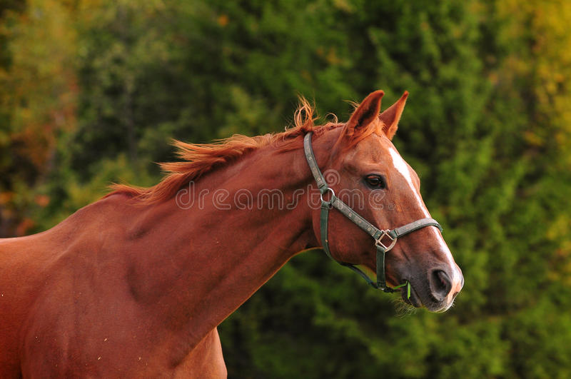 Download Chestnut Horse Head, Autumn Background Stock Image - Image: 41980373