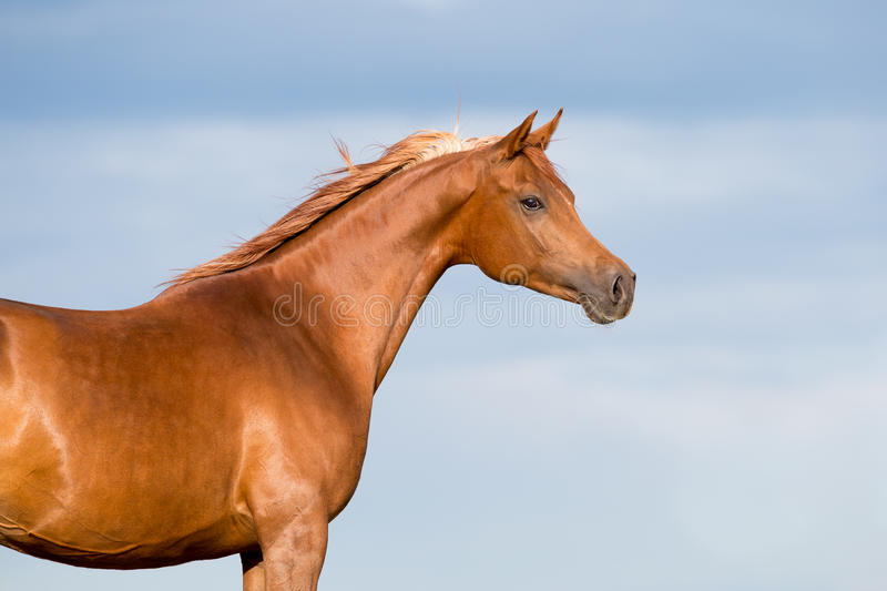 Chestnut horse head on blue sky with clouds stock photo