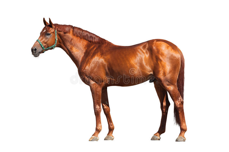 Chestnut horse isolated on white. Chestnut horse in green halter isolated on white background stock image