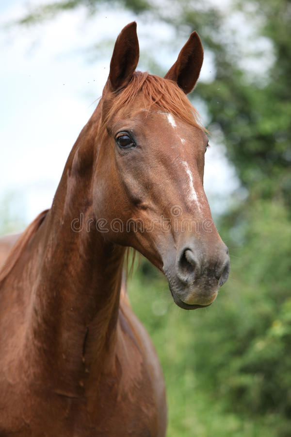 Chestnut horse looking royalty free stock image