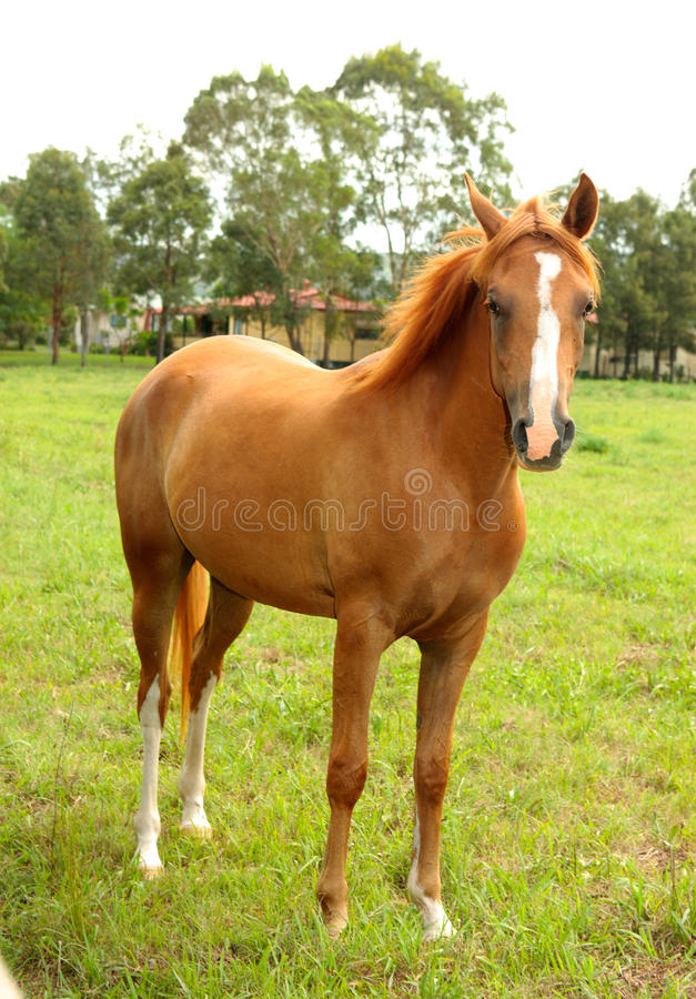 Chestnut horse in paddock. Chestnut horse standing in a rural pasture royalty free stock photo