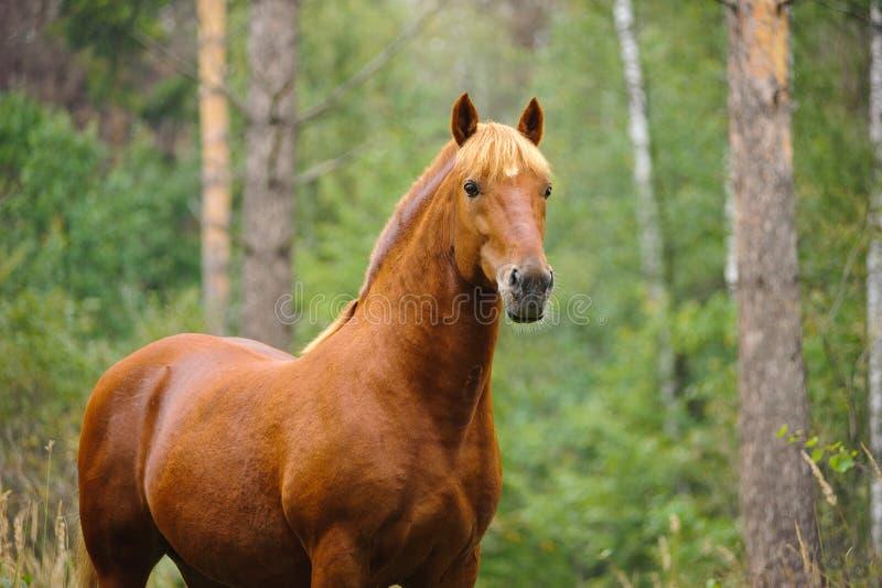 Chestnut horse portrait stock photography
