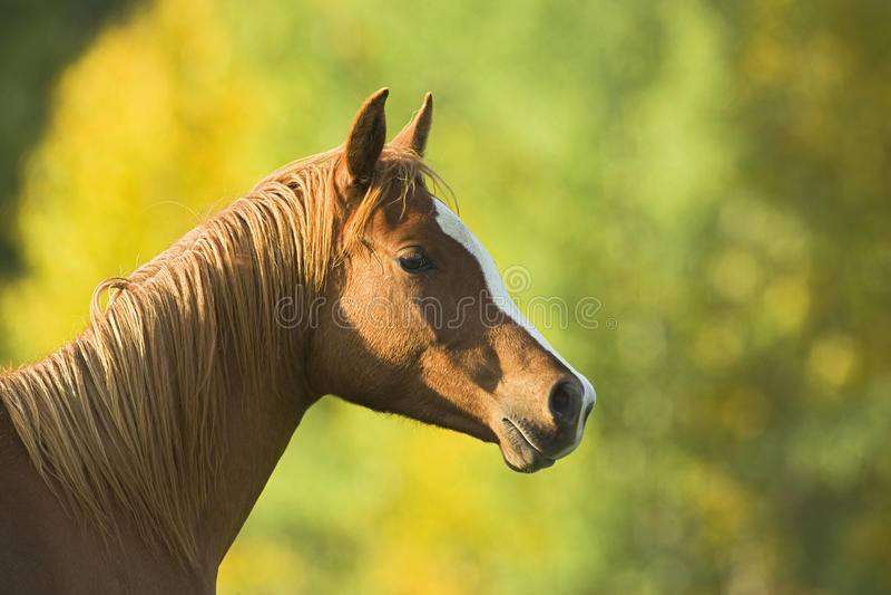 Chestnut Horse portrait royalty free stock photos
