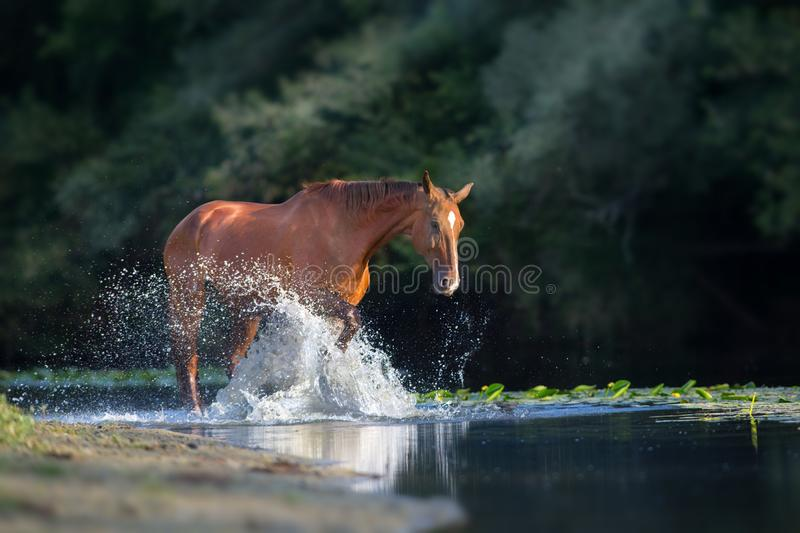 Chestnut horse in river stock images