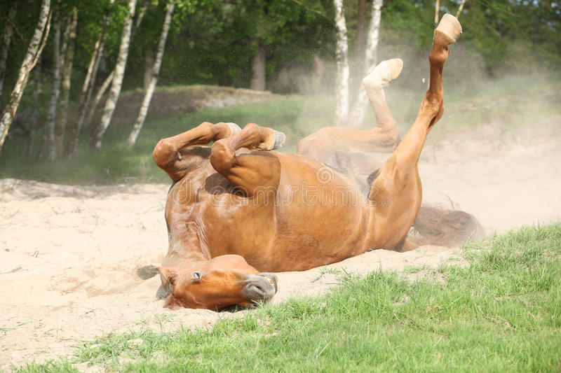 Chestnut horse rolling in the sand in hot summer royalty free stock photo