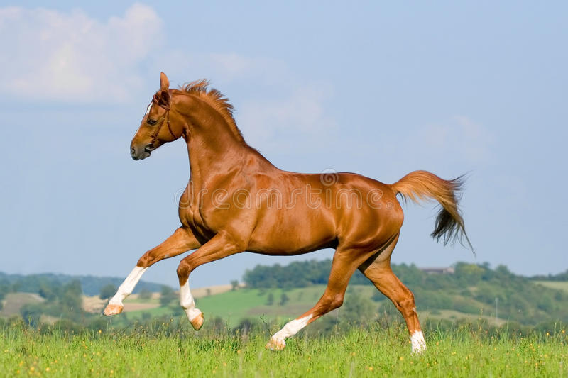 Chestnut horse run on the green hill. royalty free stock photography