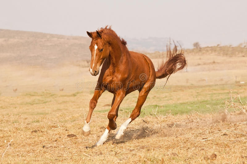 Chestnut horse running. On a grass field on a farm royalty free stock photos