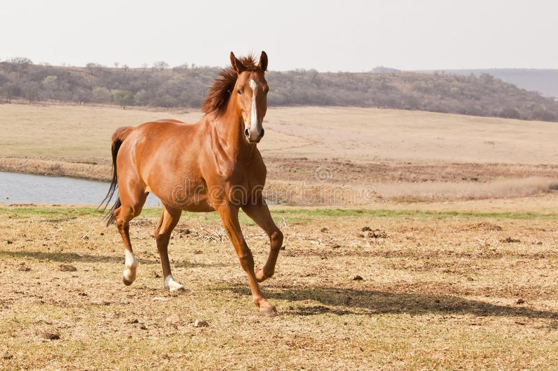 Chestnut horse running. Near a farm dam royalty free stock images