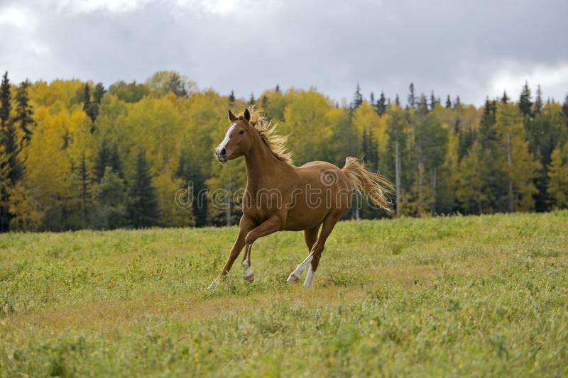 Chestnut Horse running in meadow, autumn colors royalty free stock photos