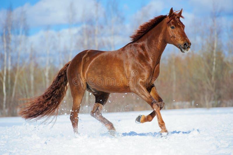 Chestnut horse runs gallop in winter