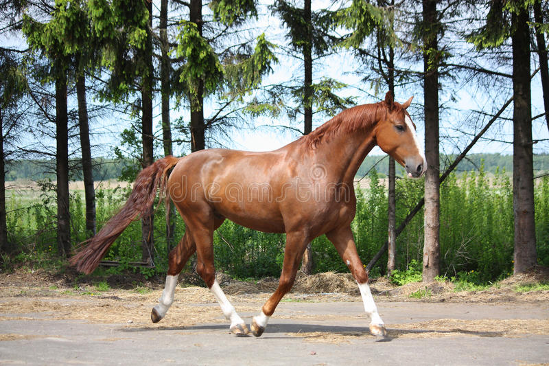 Chestnut horse trotting to the stable. Chestnut horse trotting on the road leading to farm royalty free stock photography