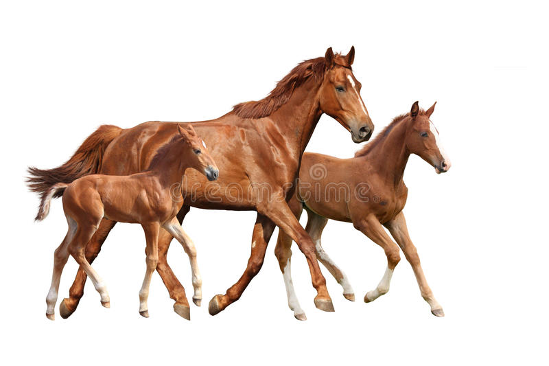 Chestnut horse and two its foals running isolated on white. Background stock photos