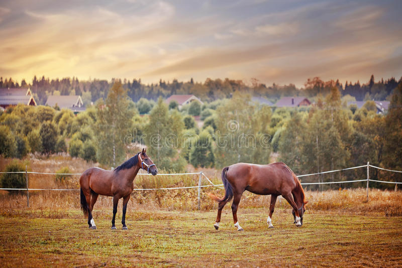 Chestnut horses grazing in paddock. At sunset stock image