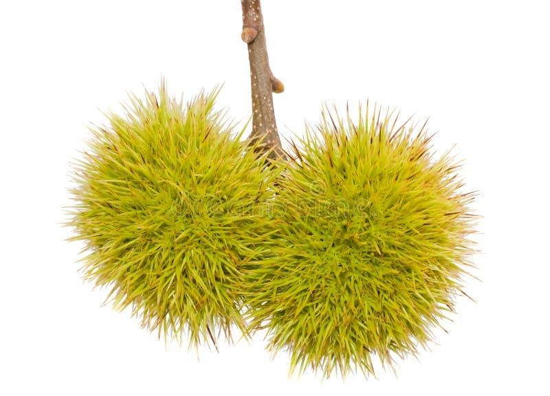 Download Chestnut husk stock image. Image of chestnut, food, fruit - 20936981