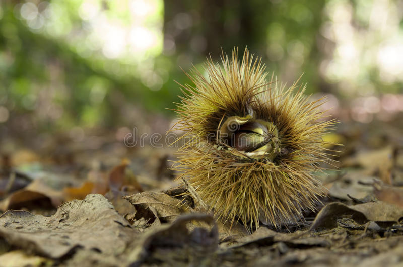 Download Chestnut Husk In Undergrowth Royalty Free Stock Images - Image: 26844739