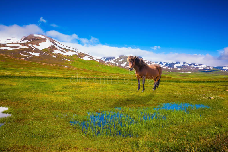 Chestnut Icelandic horse grazing in green fields. Chestnut Icelandic horse grazing in the meadow. Summer Iceland. Small lake surrounded by green fields stock photography