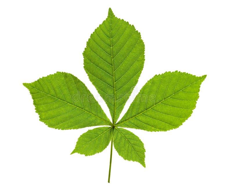Chestnut leaf stock image