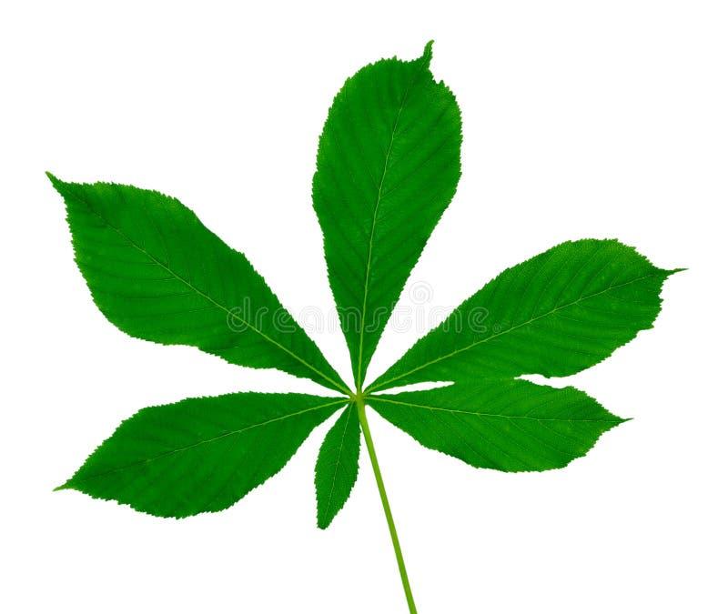 Chestnut leaf. Isolated on white background stock photography