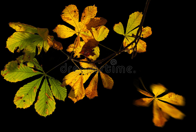 Download Chestnut leaves in autumn stock photo. Image of year, falling - 6962566