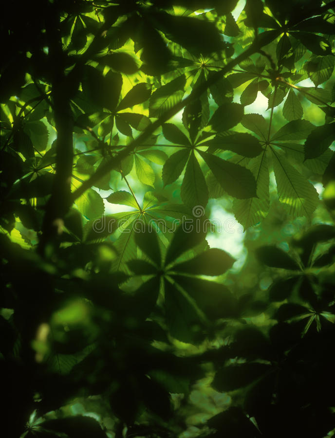 Chestnut Leaves Background. Stock Photo