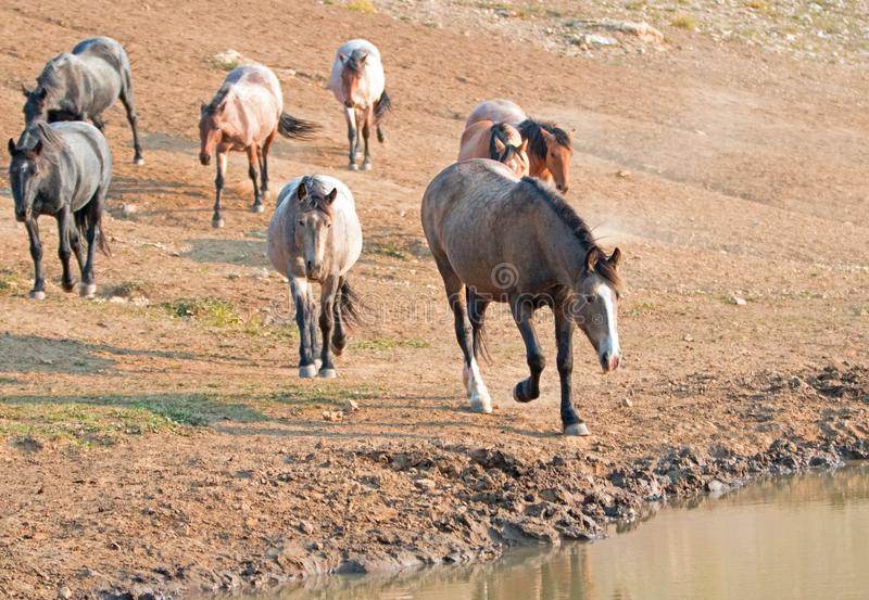 Chestnut liver bay roan at water hole with herd of wild horses at the waterhole in Pryor Mountains Wild Horse Range in Montana USA. Chestnut liver bay roan royalty free stock photo