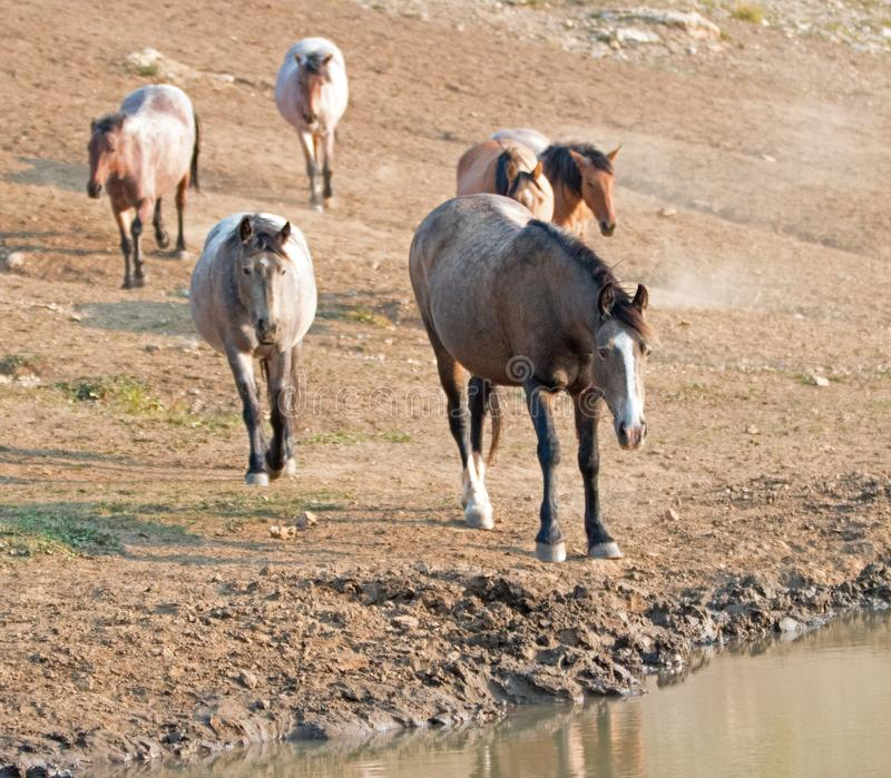 Chestnut liver bay roan at water hole with herd of wild horses at the waterhole in Pryor Mountains Wild Horse Range in Montana USA. Chestnut liver bay roan royalty free stock photography