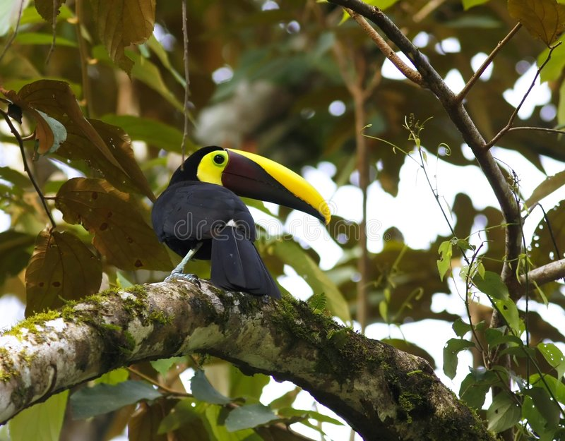 The Chestnut-mandibled Toucan, royalty free stock image