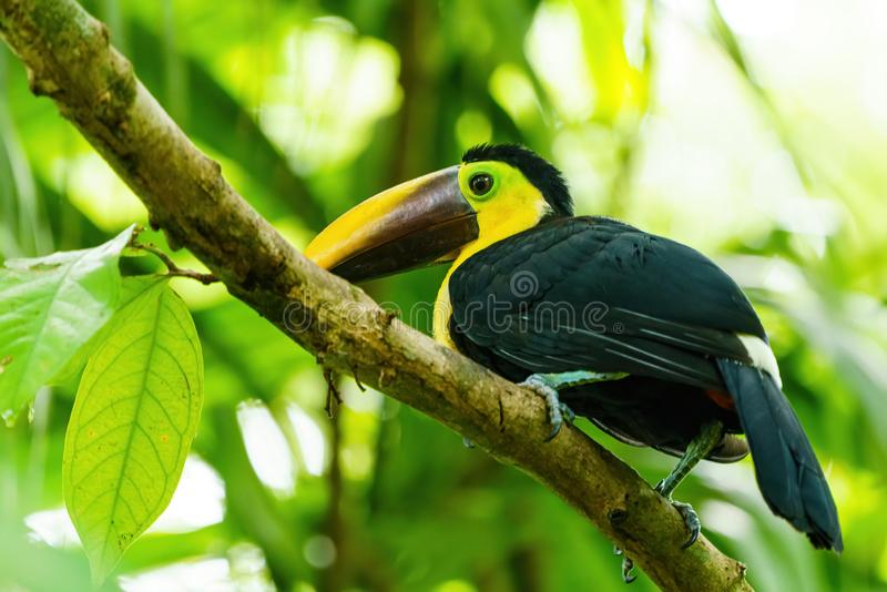 chestnut-mandibled Toucan (Ramphastos swainsonii) under forest canopy, in Costa Rica royalty free stock photos