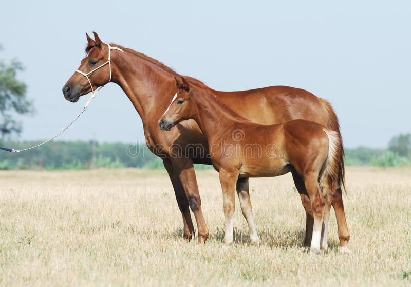 Download Chestnut mare and foal stock image. Image of beauty, beautiful - 10570895