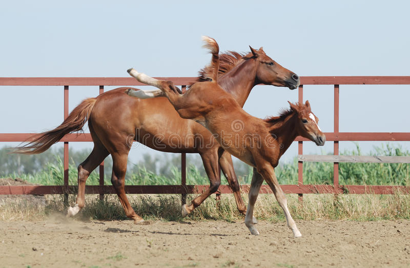 Chestnut mare and foal