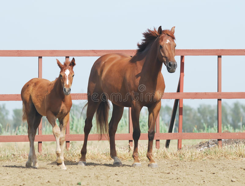 Download Chestnut mare and foal stock image. Image of animal, farm - 10571007