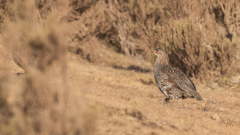 Chestnut-naped Francolin in Arid Field. Chestnut-naped Francolin, Pternistis castaneicollis, is walking in arid field in Bale Mountains, Ethiopia, Africa royalty free stock photo