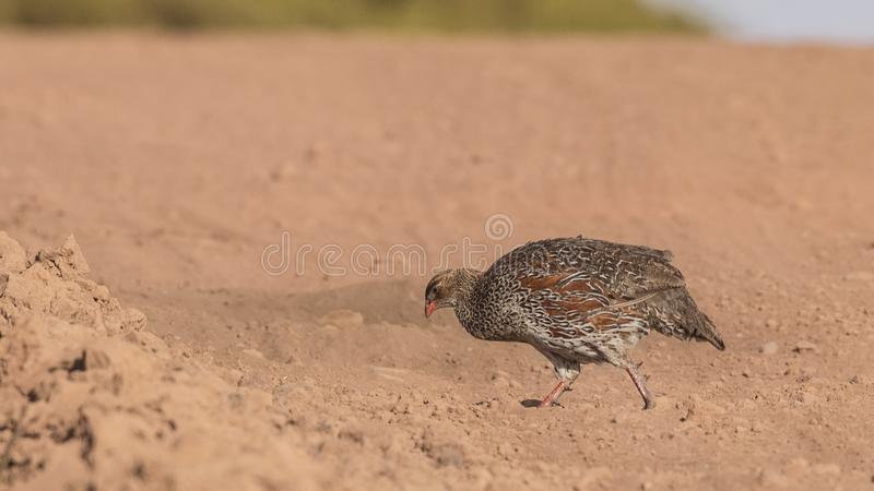 Chestnut-naped Francolin in Arid Field. Chestnut-naped Francolin, Pternistis castaneicollis, is walking in arid field in Bale Mountains, Ethiopia, Africa royalty free stock photos