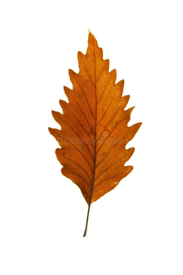 Chestnut Oak Leaf stock photo