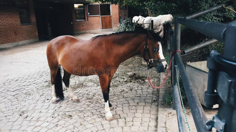 Chestnut Pony Horse with black bridle at Basel Zoo royalty free stock photo