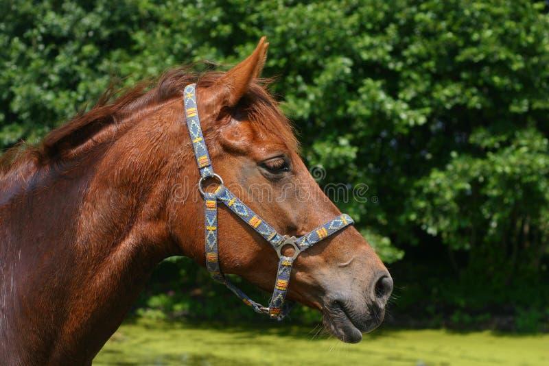 Download Chestnut portrait stock image. Image of equine, brown, nature - 969975