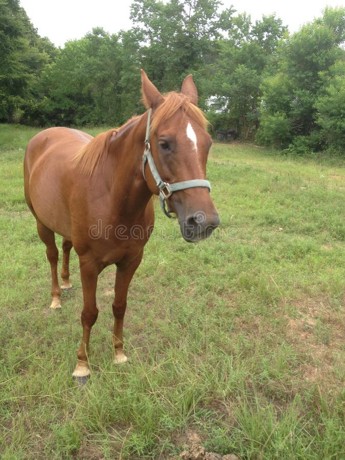 Chestnut quarter horse mare in paddock front view royalty free stock photos